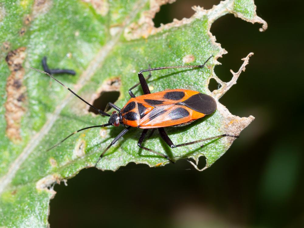 Miridae: Calocoris nemoralis f. hispanica