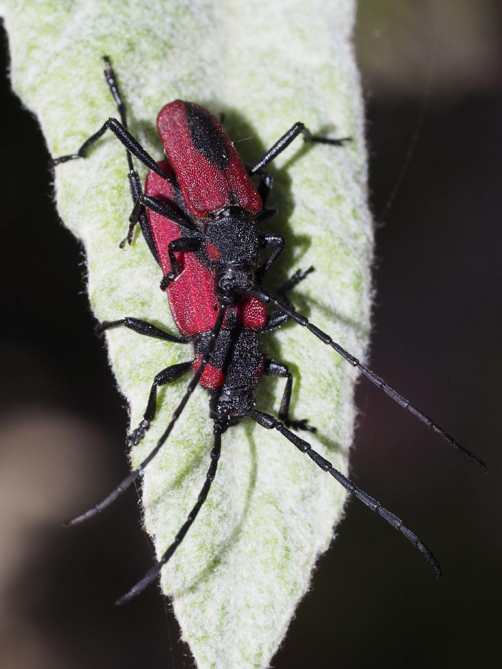 Cerambycidae: Purpuricenus kaehleri