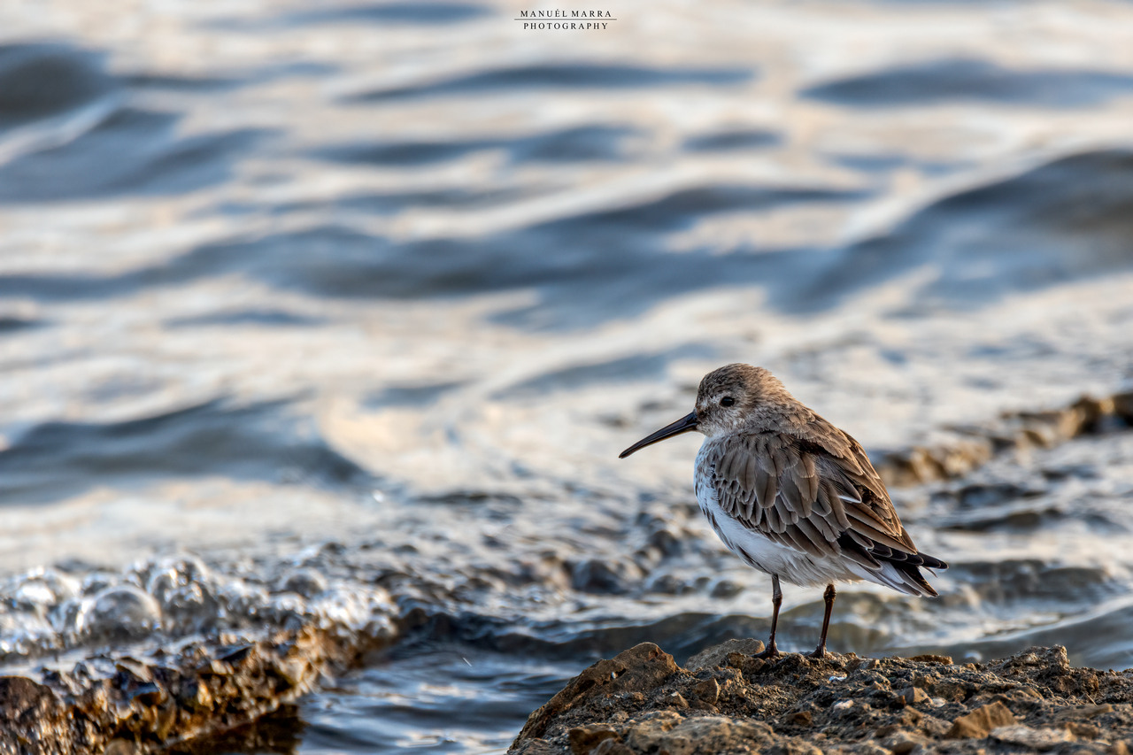 Piovanello pancianera, Calidris alpina