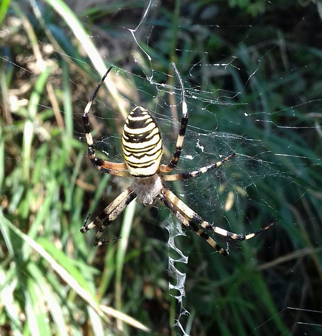 ragno in Calabria
