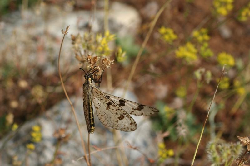 Myrmeleontidae: femmina di Palpares libelluloides