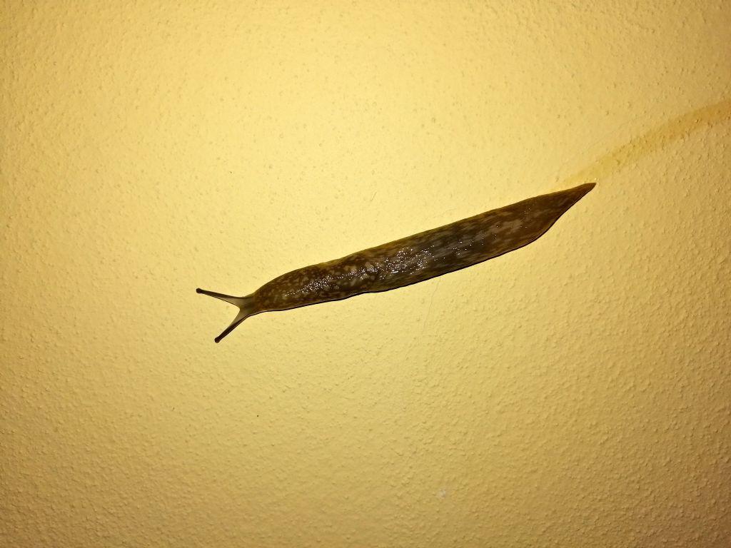 Limacidae da ID - Limacus flavus