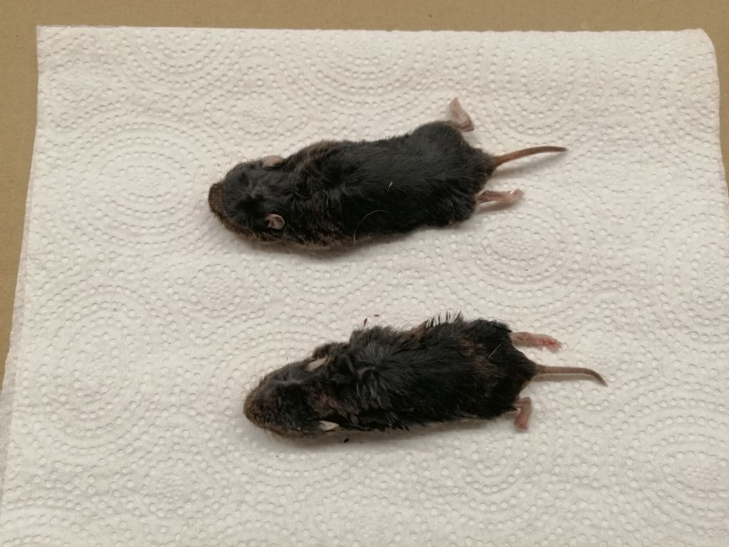 Identificazione Cricetidae (Microtus?): Microtus cfr. savii