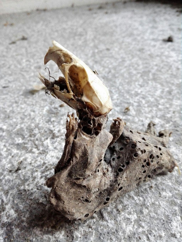 Pulire ossa e crani: Metodologie a confronto