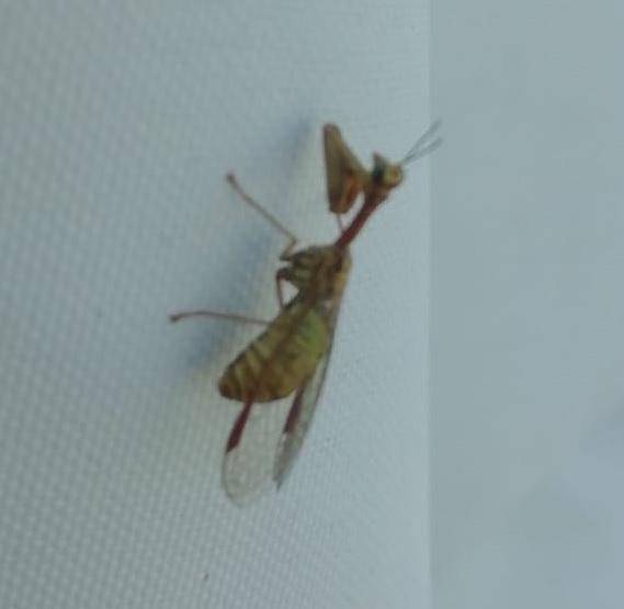 Mantide?  No, Neurottero Mantispidae:  Mantispa sp.