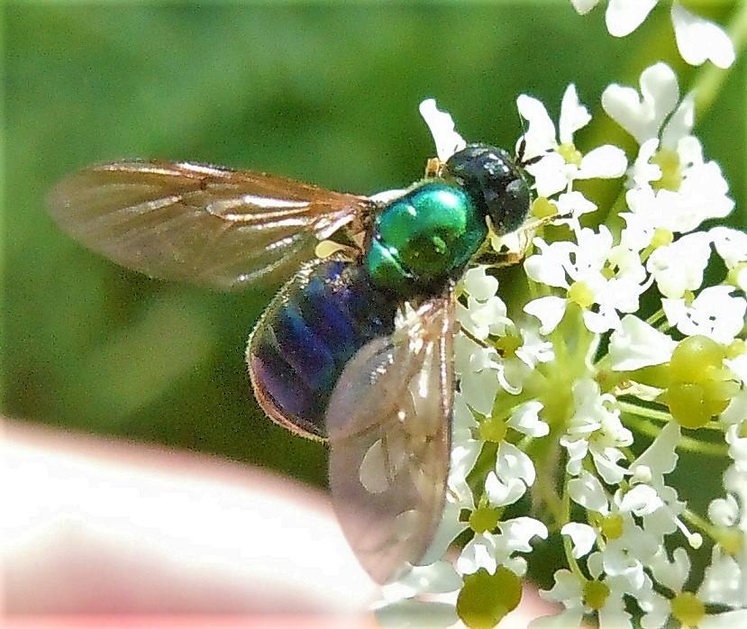 Stratiomyidae:  Chloromyia formosa, femmina?  Sì !