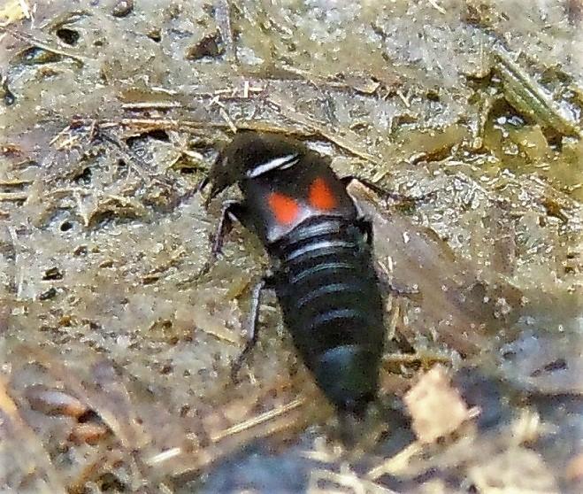 Sphaeridium sp. (Hydrophilidae) e Philonthus cruentatus (Staphylinidae)