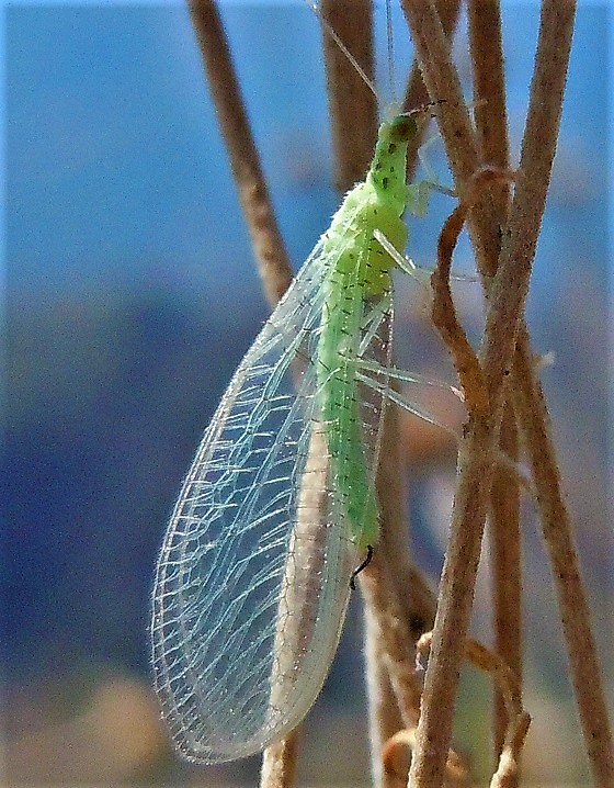 Chrysopidae: Pseudomallada sp.