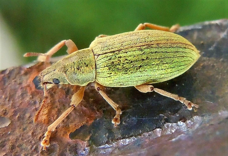 Curculionidae verde, grande:  Polydrusus cfr. impar, femmina