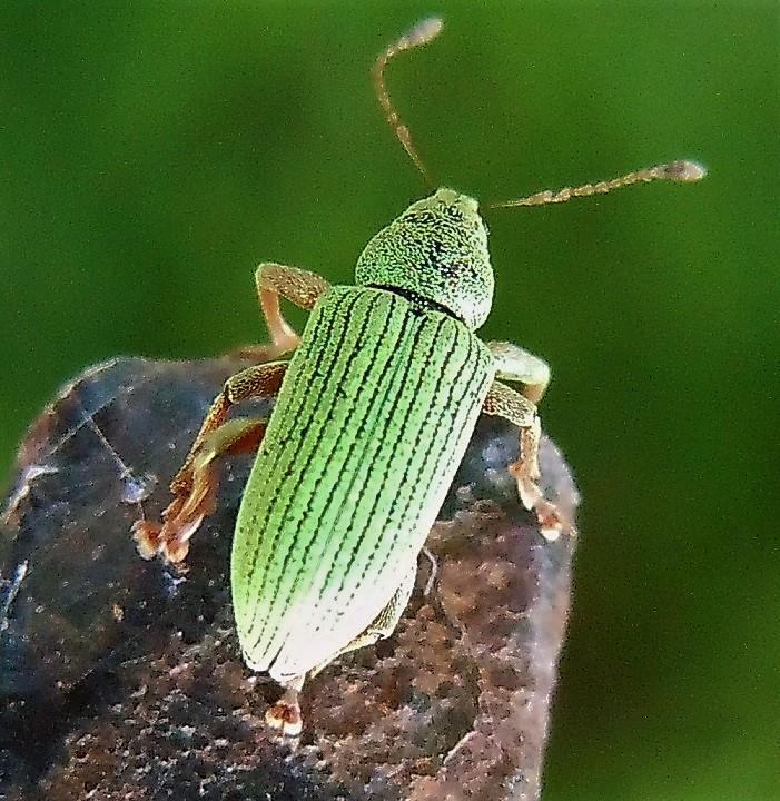 Curculionidae verde medio