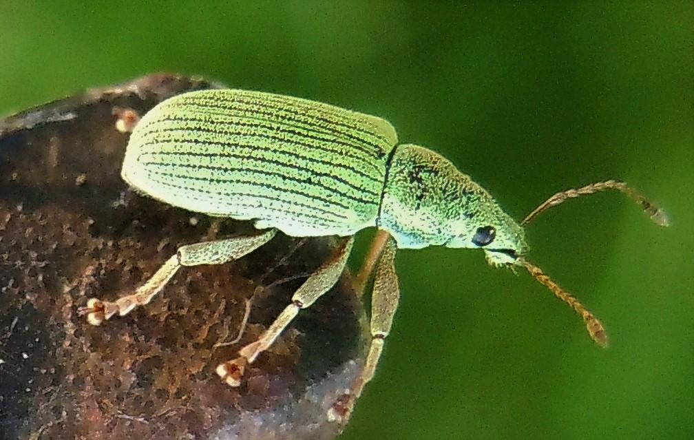 Curculionidae verde, medio:  Polydrusus cfr. frater