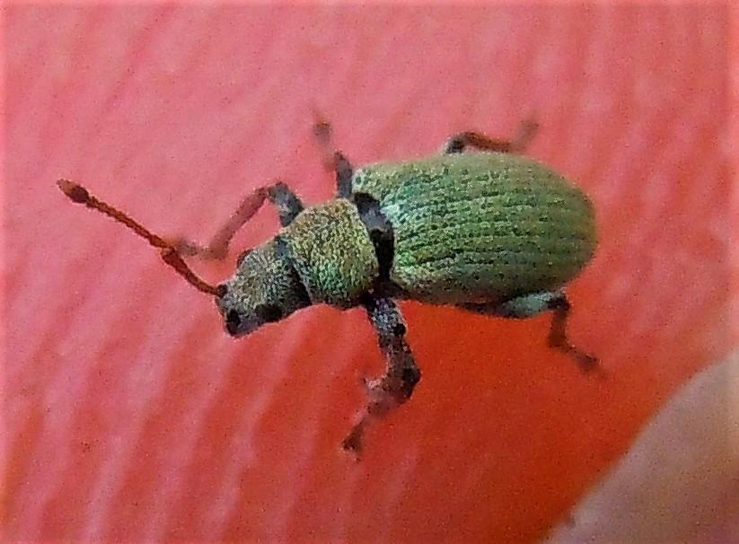 Curculionidae verde, piccolo: Phyllobius subdentatus