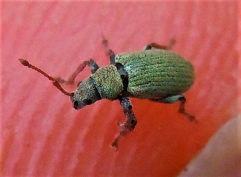 Curculionidae verde piccolo