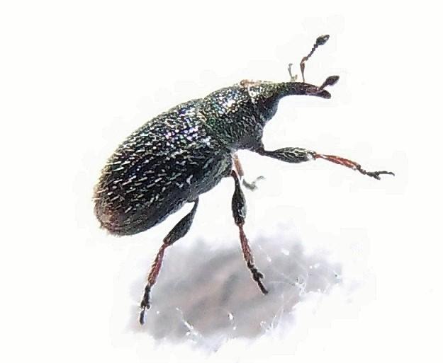 Curculionidae: Gymnetron rostellum