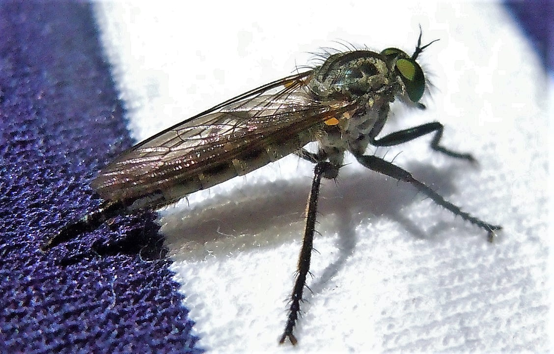 Asilidae: Neoitamus castellanii, femmina