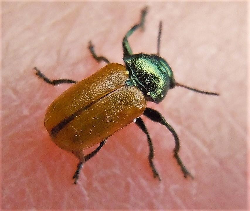 Chrysomelidae: Labidostomis longimana? ... Labidostomis cfr. cyanicornis, maschio