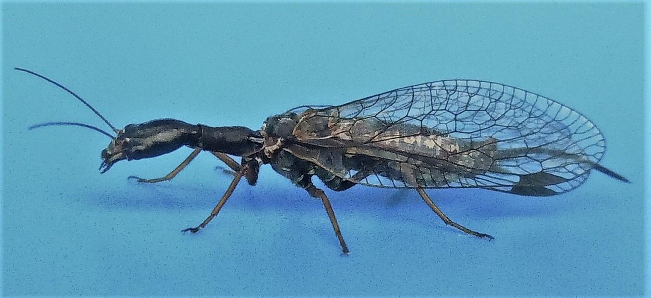 Raphidiidae: Phaeostigma cfr. grandii