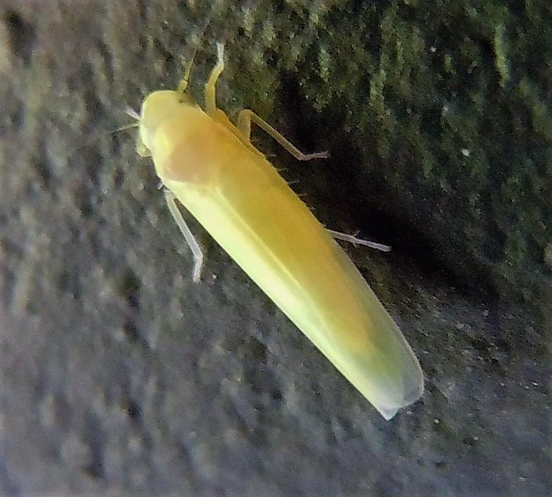 Cicadellidae Typhlocybinae?  Sì, Alnetoidia alneti