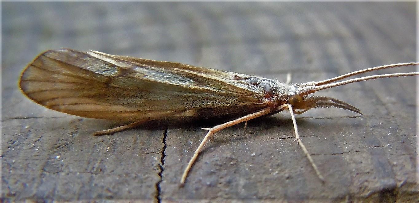 Odontoceridae: Odontocerum albicorne? Sì !