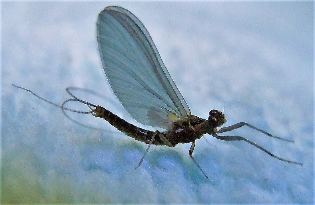 Leptophlebiidae? Sì,  Habrophlebia sp., maschio
