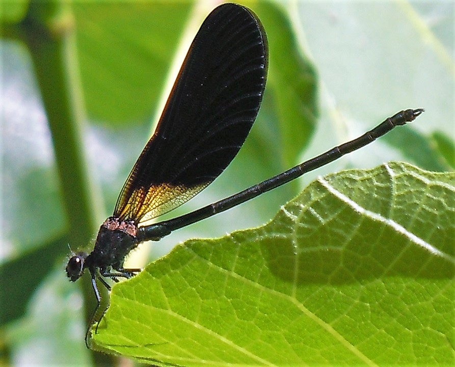 Calopteryx virgo?  No, Calopteryx haemorrhoidalis