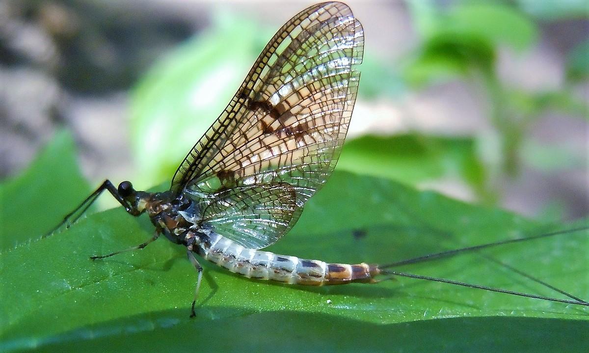 Ephemeridae: Ephemera danica, maschio