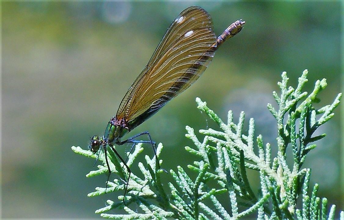 Calopteryx virgo festiva, femmina
