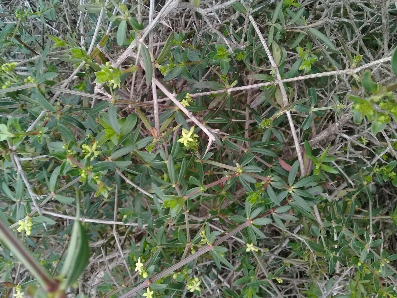 Galium libanoticum o Robia aucheri o ...?  Rubia tenuifolia