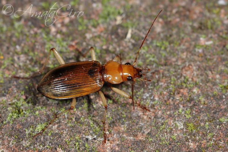 Carabidae: Nebria psammodes