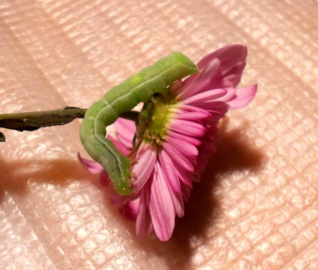 Un modo semplice e pratico per allevare bruchi