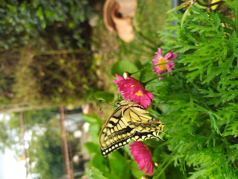 Come sverna una farfalla?