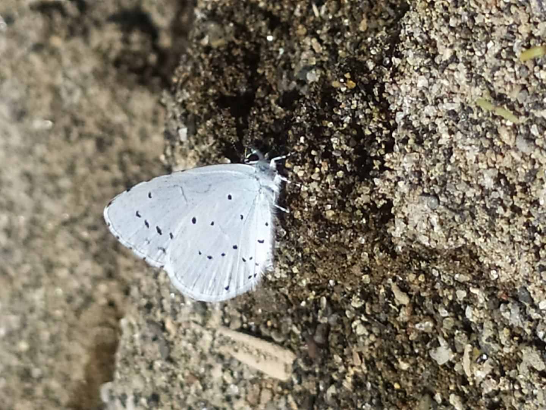 Celastrina argiolus -  Lycaenidae