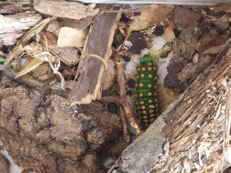 Larva di Saturnia Pavoniella malata?...o parassitata