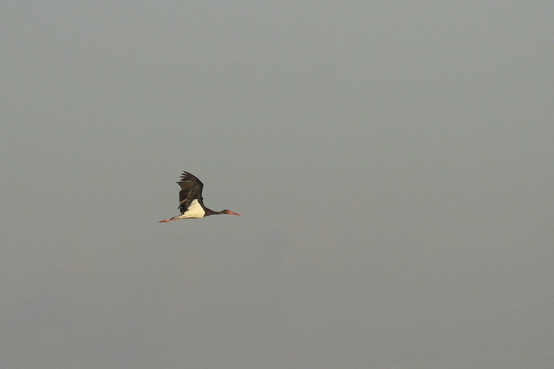 Cicogna nera (Ciconia nigra )