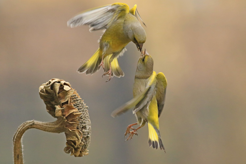 Verdoni ( Chloris chloris ) volanti e litigiosi