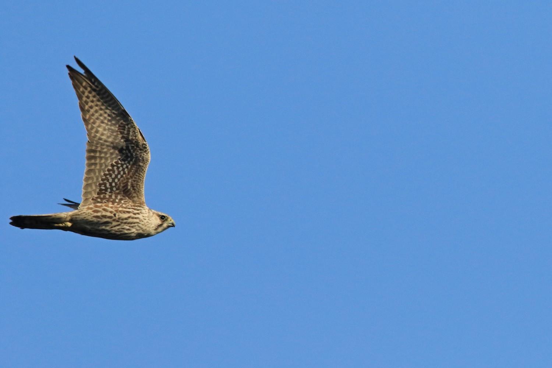 Falco pellegrino siberiano (Falco peregrinus calidus)