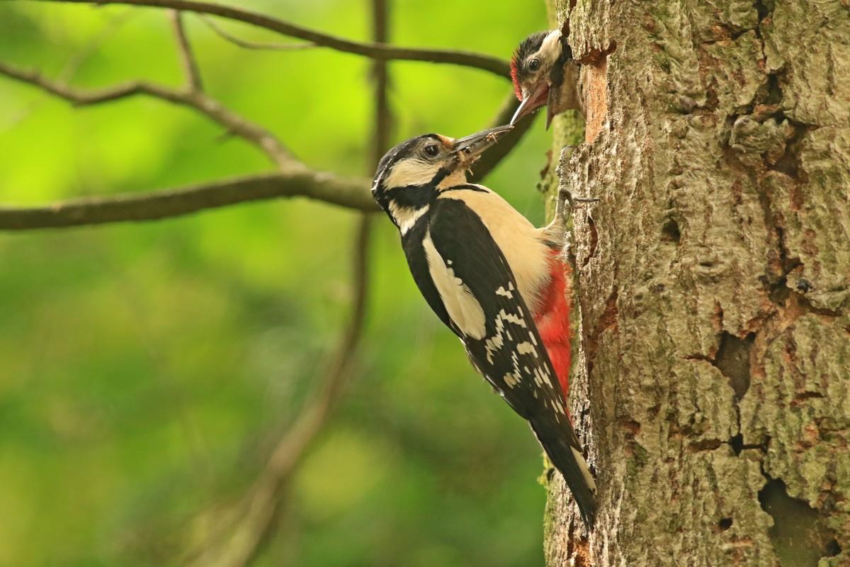 Picchio rosso maggiore (Dendrocopos major) -nido con piccolo/i