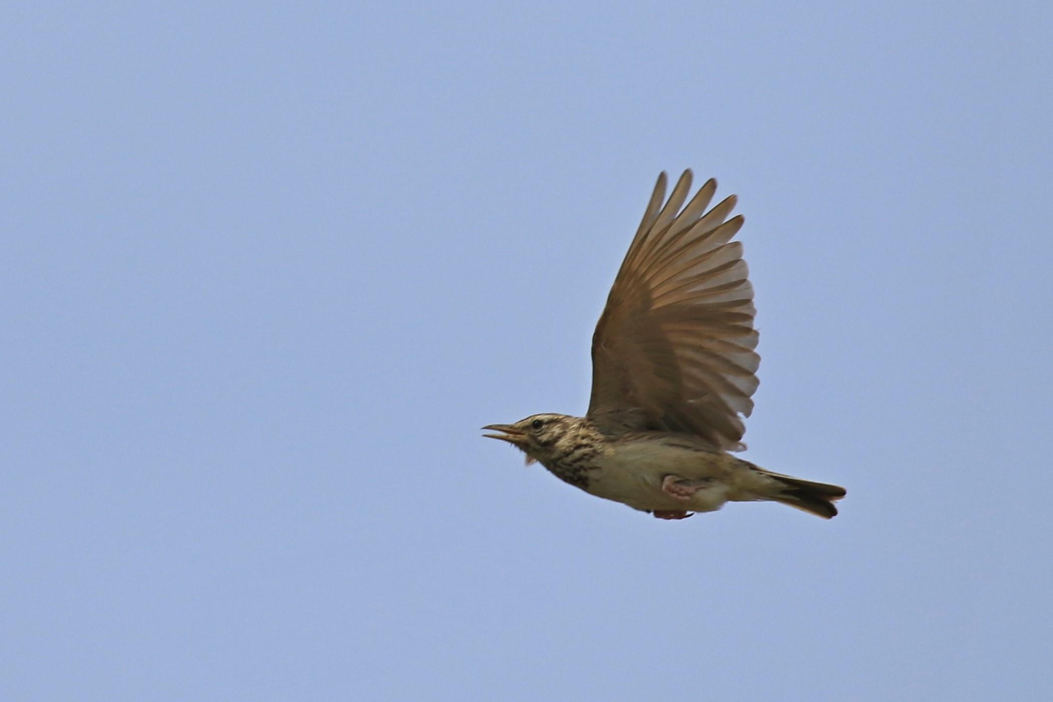 Aiuto identificazione passeriforme: Cappellaccia (Galerida cristata)