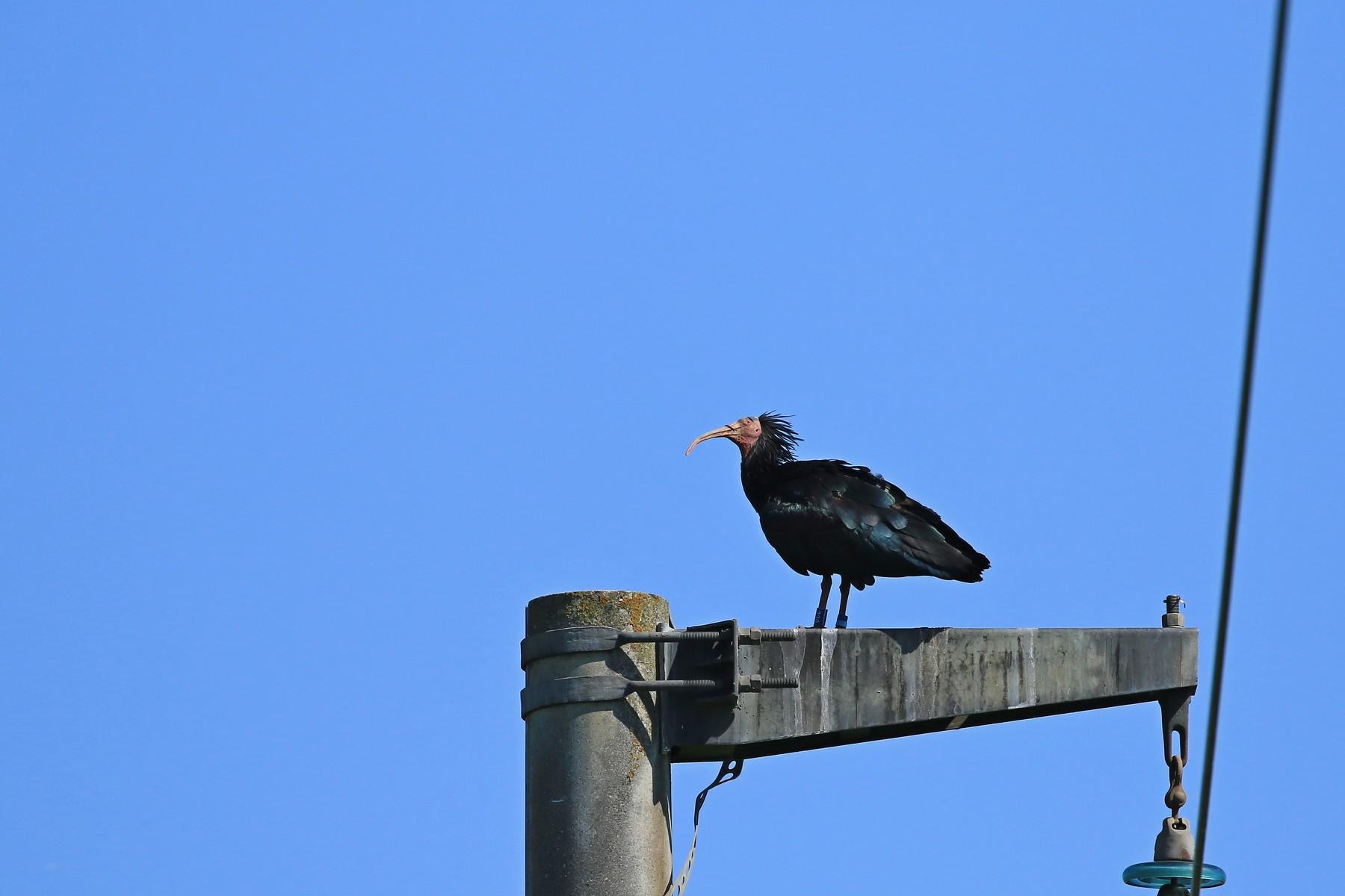 Ibis eremita ( Geronticus eremita ) - Oskar