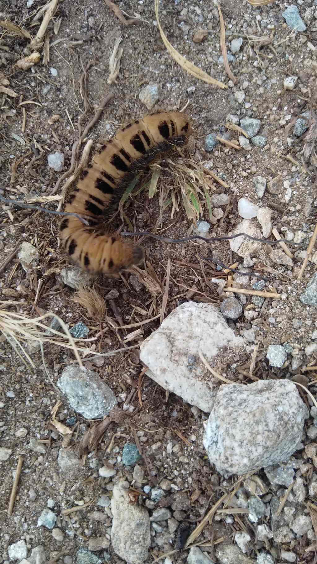 larva di Zygaenidae? No, Brahmaeidae: Lemonia cfr. taraxaci