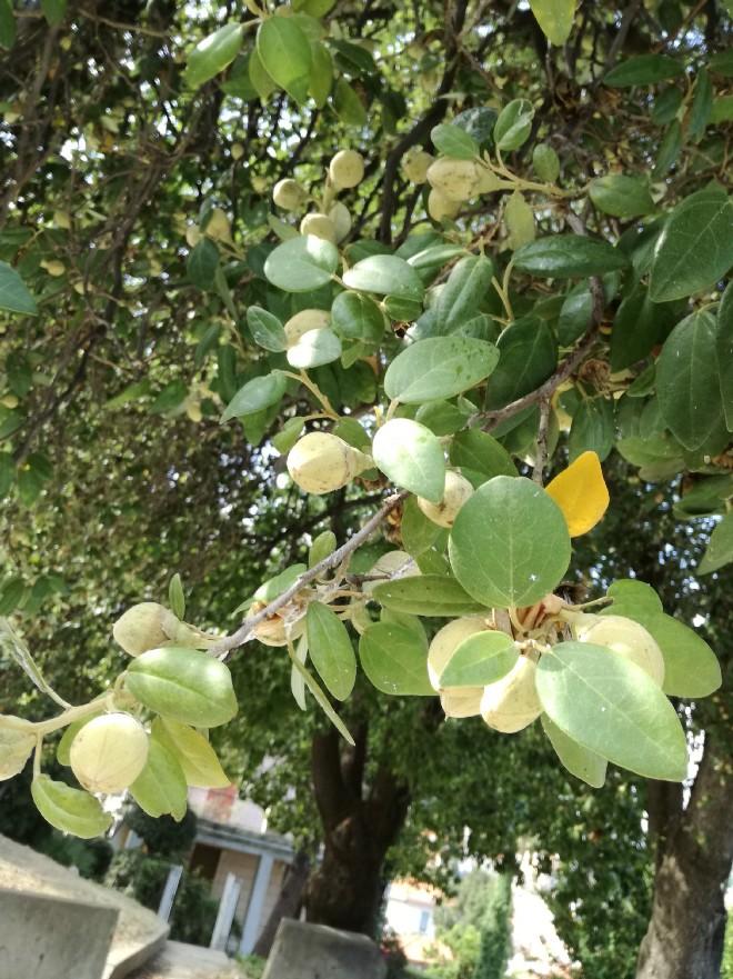 Lagunaria patersonia (Malvaceae)