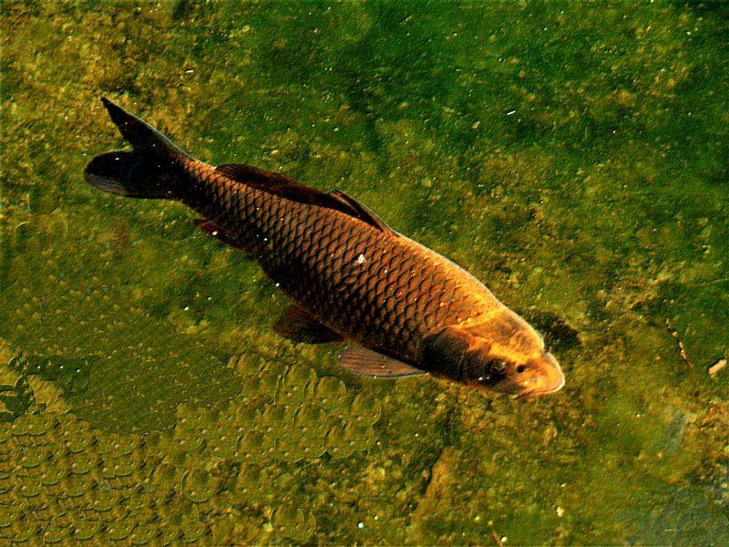 pesce da identificare:  Carpa (Cyprinus carpio)
