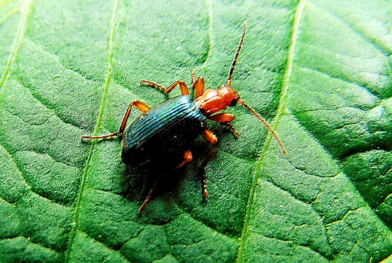 Cantharidae (?) No, Carabidae, Brachinus sp.