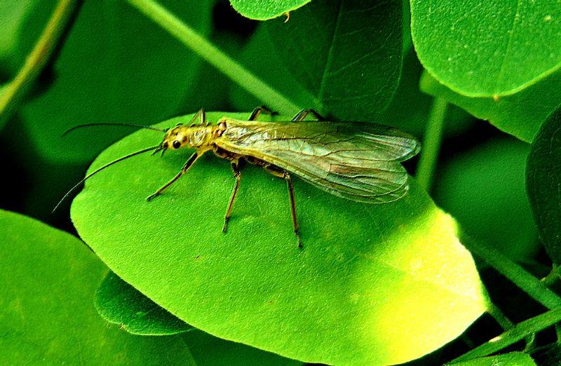 Isoperla carbonaria  (Perlodidae)