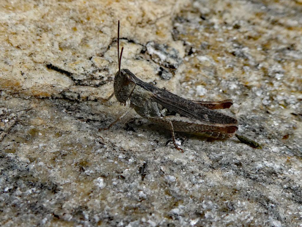 Acrididae: Glyptobothrus sp.