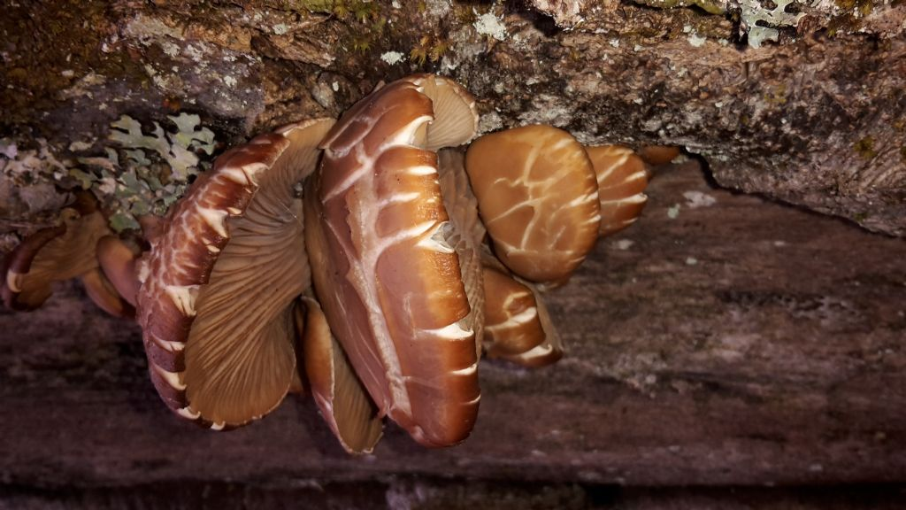 funghi carnosi tipo Pleurotus in montagna al 10/3