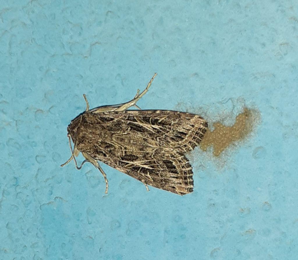 Noctuidae? Sì, Spodoptera littoralis