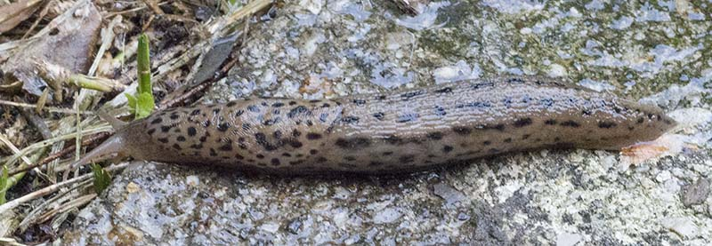 Limax sp
