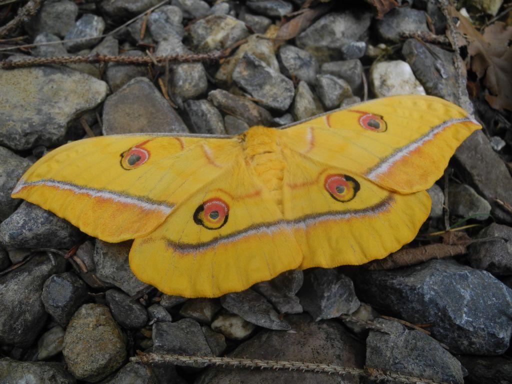Quale falena? Antheraea yamamai - Saturniidae