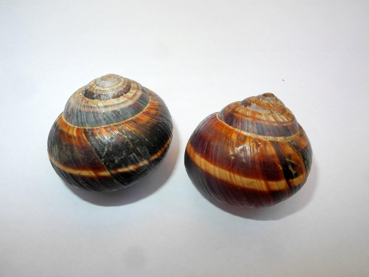 Helix lucorum da Udine